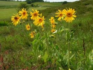 Plante-medicinale-Arnica1-300x225.jpg