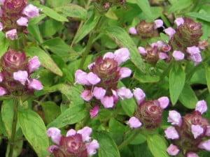 Busuiocul salbatic (Prunella vulgaris)