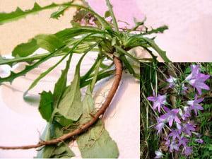 Clopoteii (Campanula rapunculus) - Radacina