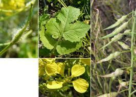 Mustarul-alb-Sinapis-alba.jpg