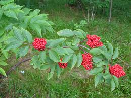 Socul rosu (Sambucus racemosa)