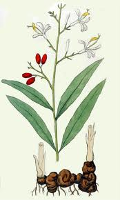 Ghimbirul-siamez (Alpinia galanga)