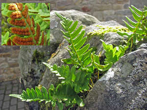 Feriguta-Polypodium-vulgare.jpg