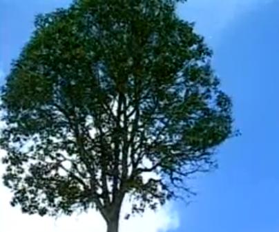 Arborele