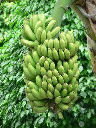 Bananier cu fructe