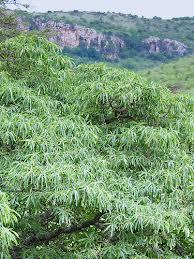 Arbori Cinchona succirubra