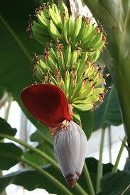 Floare-si-fruct-de-bananier