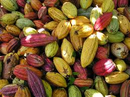 Fructul arborelui de cacao