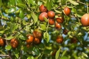 Fructul de jujuba