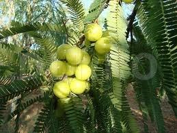 Ambla (Phyllanthus emblica)
