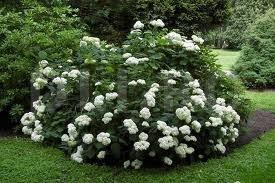 Arbustul Hortensia de padure, Hydrangea aborescens
