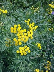 Plante medicinale - Calomfirul (Tanacetum balsamita)