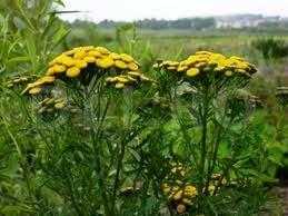 Calomfirul, Planta medicinala