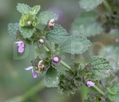 Catusa (Ballota nigra), planta medicinala