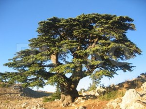 Cedrus libani, Cedul-libanez