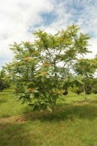 Cenusarul - Ailanthus altissima