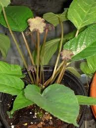 Dorstenia (Dorstenia cantrajerva)
