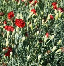 Garoafa-de-gradina, Dianthus caryophyllus