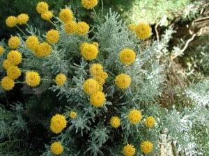Iarba-Domnului (Santolina chamaecyparissus)