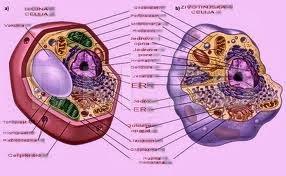 Celula ribozomi