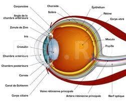 Ochiul structura anatomica