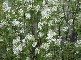 Amelanchierul-oval, Amelanchier ovalis