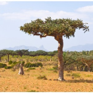 Arbore-de-smirna, Commiphora myrrha