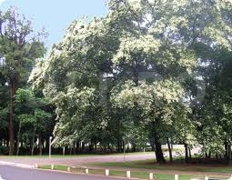Arborele copaiba (Copaifera langsdorfii)