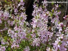 Arbustul Bucco (Agathosma betulina)