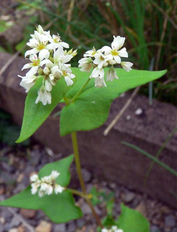 Hrisca, Planta, Foto: mjc-yutz.com