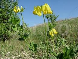 Ghizdeiul-marunt (Lotus corniculatus)