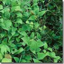Mirtul-lucios (Anamirta paniculata) 1