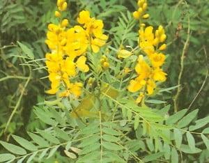 Siminichia (Cassia angustifolia)