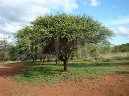 Acacia-spinoasa egipteana (Acacia nilotica). Arborele