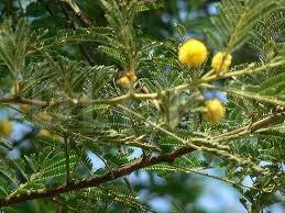 Acacia-spinoasa egipteana (Acacia nilotica)