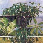Copacul-dracului, Alstonia scholaris