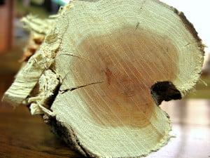 Arborele Quebracho