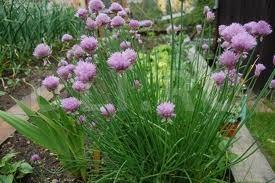 Arpagic, Allium schoenoprasum