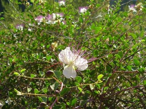 Caperul (Capparis spinosa)