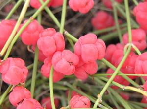Carcelul (Ephedra distachya), Fructele rosii