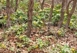 Dracila-americana (Berberis repens)