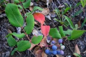 Dracila-americana, Berberis repens