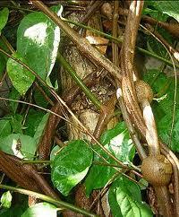 Liana ayahuasca (Banisteriopsis caapi)