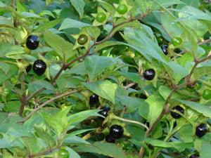 Matraguna (Atropa belladonna), Fructele