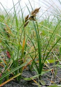 Rogozul (Carex arenaria)