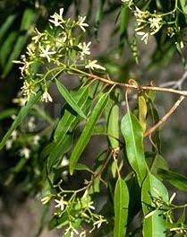 Scoarta-amara (Alstonia constricta)