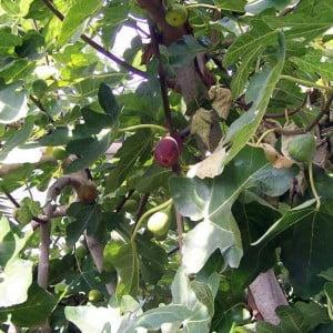 Smochinul, Ficus carica