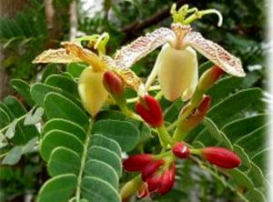 Tamarindus indica, Florile