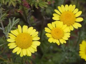 Floarea-de-perina (Anthemis tinctoria)