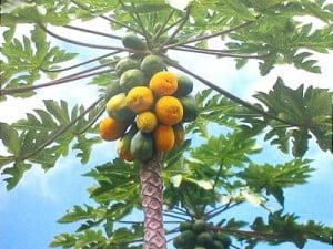 Arborele de Papaya